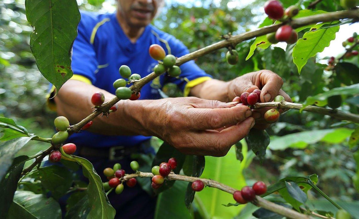 El café colombiano destacado fue sembrado en los municipios de Toribío y Miranda en el Espacio Territorial de Capacitación y Reincorporación (ETCR) de Monterredondo.