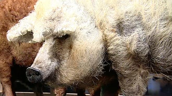 Facebook pone de moda el cerdo oveja