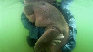 Imagen de la cría Mariam del pasado mayo, atendida por veterinarios,en la isla de Libong, en el sur de Tailandia.