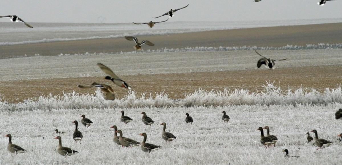 Gansos en las cercanías de la laguna de la Nava, en Palencia.