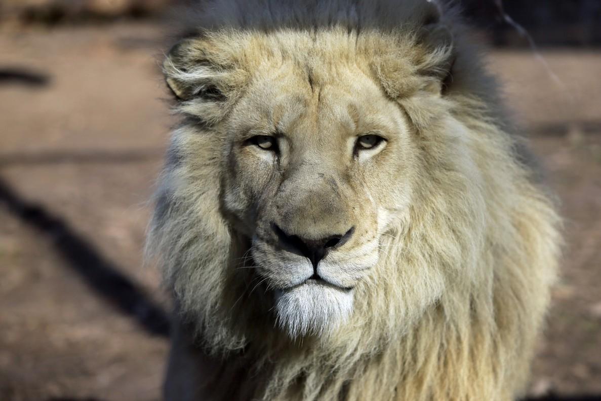 Un león en el zoo de Tbilisi (Georgia).