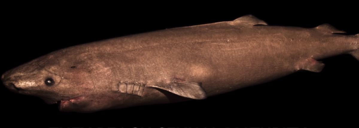 Tiburón de Groenlandia, vertebrado más longevo.