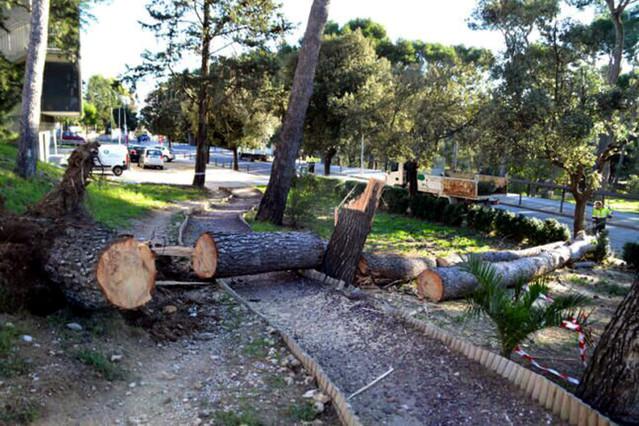 El vendaval ha arrencat tres pins que hi havia plantats a la zona verda a prop de lHospital de Figueres.