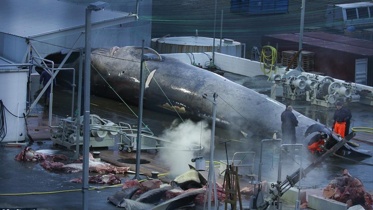 Indignación: balleneros de Islandia mataron a una ballena azul