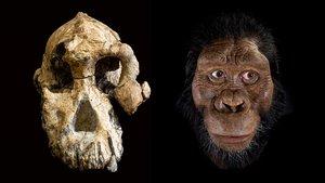 La troballa d'un crani demostra que l'espècie de la Lucy no va viure sola