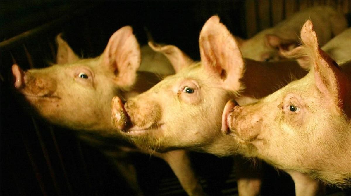 El experimento consiste en inyectar células madre humana en embriones porcinos.