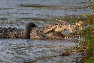 El cocodrilo con el rueda de moto en el cuello, en el río Palu, en Indonesia.