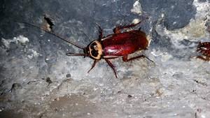 Ejemplar de cucaracha australiana.