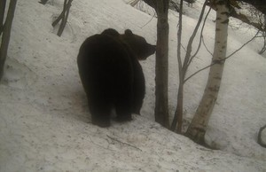 Imagen de un oso joven, que podría ser Pepito, el pasado 18 de marzo.