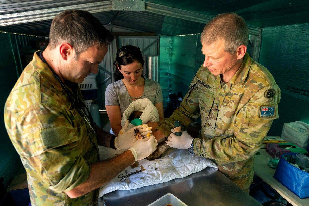 Militares ayudan en las tareas de tratamiento y cura de koalas en la isla de Kangaroo, en el sur de Australia
