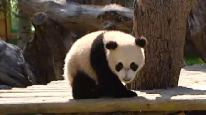 El pequeño panda Xing Bao del Zoo Aquarium de Madrid.
