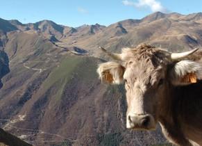 Detectado en Escocia un caso de vaca loca