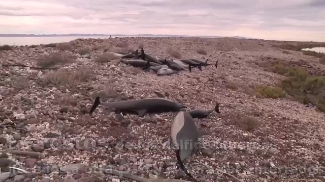 Un grupo de 52 delfines estaba varados por causas desconocidas en la playa Salinita, en la isla San José Nepomuceno
