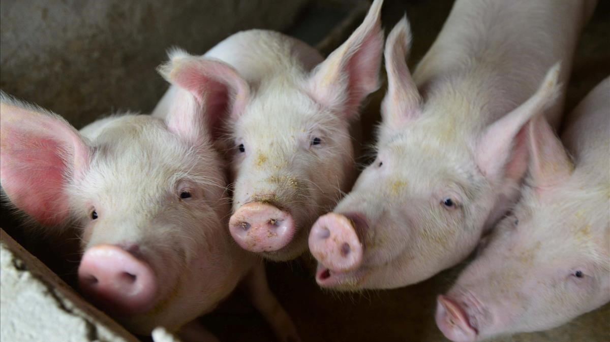¿Humanos con corazón de cerdo? Un estudio en babuinos abre el debate