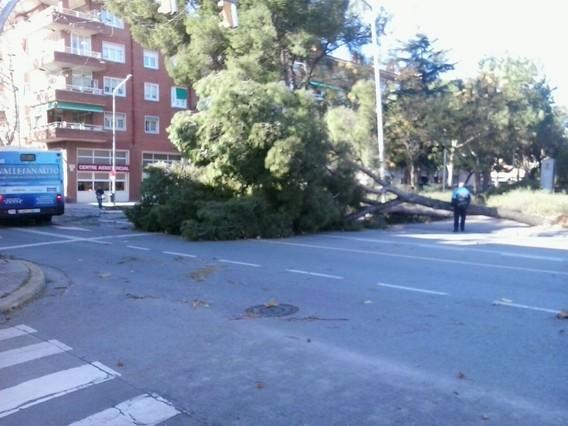 Un arbre a terra a la cèntrica plaça Taulí de Sabadell després del fort vent daquest dimarts.