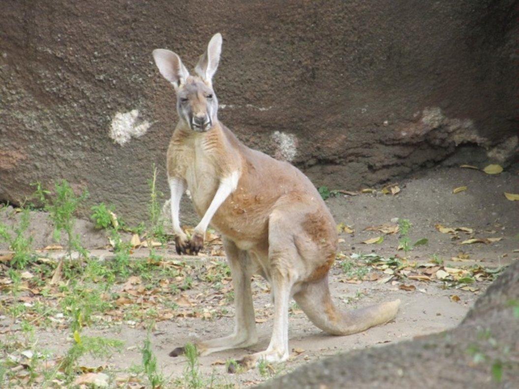 Cárcel por matar salvajemente a un canguro y difundirlo en las redes