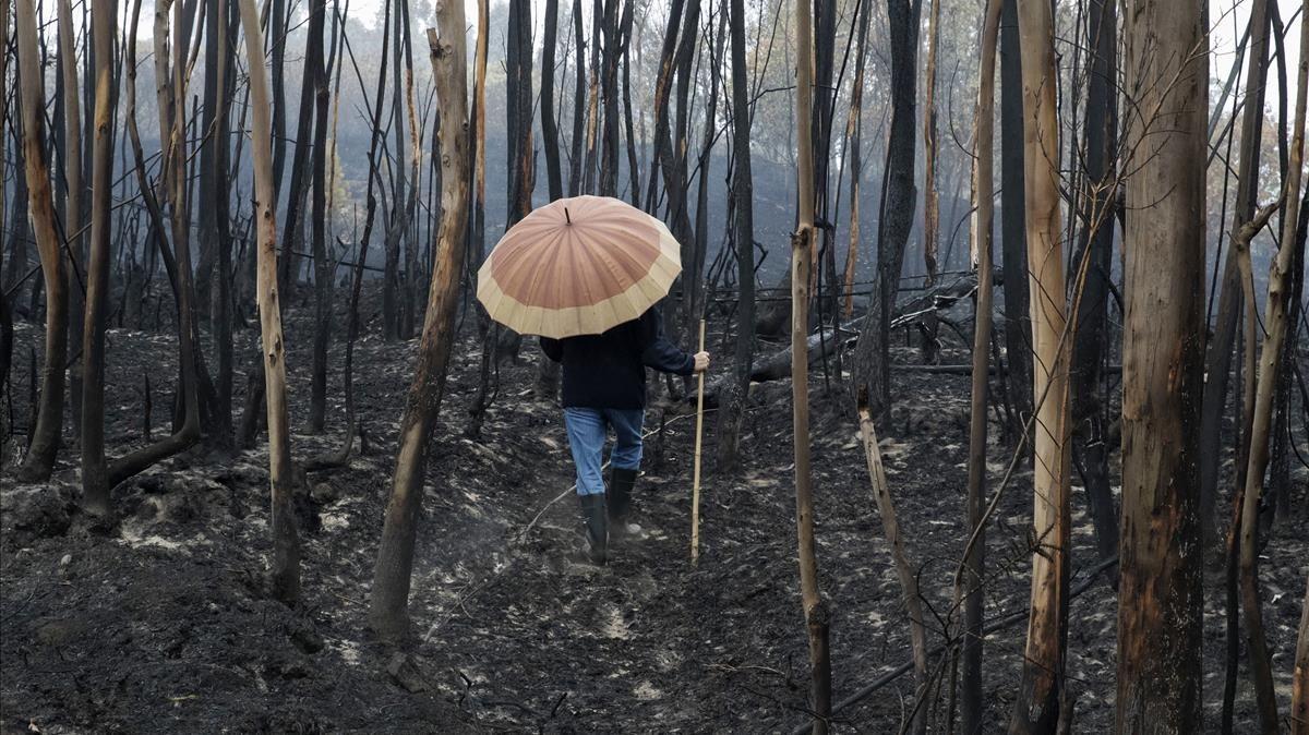 Un hombre camina por un bosque de eucaliptos calcinado en la provincia de Pontevedra.