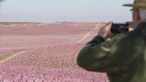 Un visitante fotografía los campos floridos de Aitona.