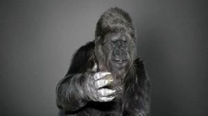 La gorila Koko enviando un mensaje de vídeo a la Conferencia de las Naciones Unidas sobre el Cambio Climático en 2015.
