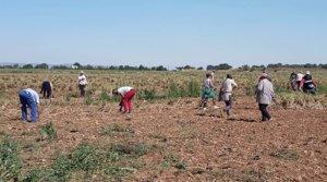 Un grupo de temporeros, trabajando en un campo de Castilla-La Mancha, a finales de mayo.