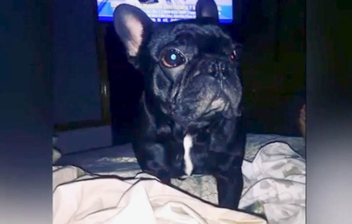 Kokito, el cachorro bulldog francés que ha fallecido durante un vuelo de United Airlines.