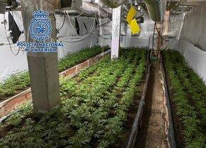 Plantación de marihuana desmantelada por la Policía.