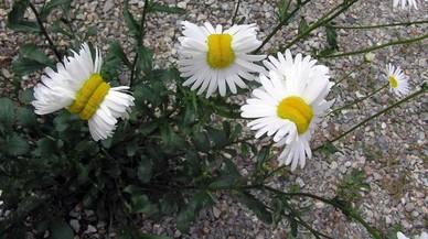 Les flors de Fukushima