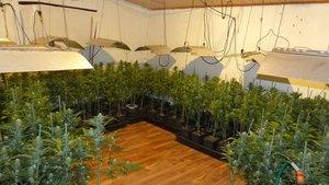 Plantación de marihuana encontrada en Sant Joan de Mollet (Gironès).