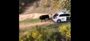 Un toro se escapa de una finca y embiste a varios coches de la Guardia Civil