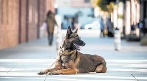 Uno de los perros adiestrados de la Fundación Escan que protegen a mujeres víctimas de la violencia machista.
