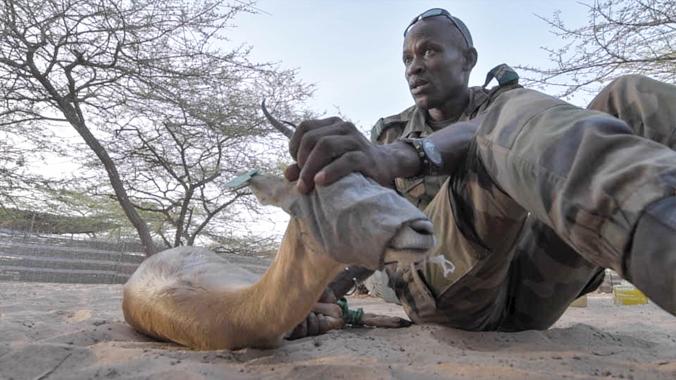 Teaser de la reintroducción de la gacela dorcas en el Senegal
