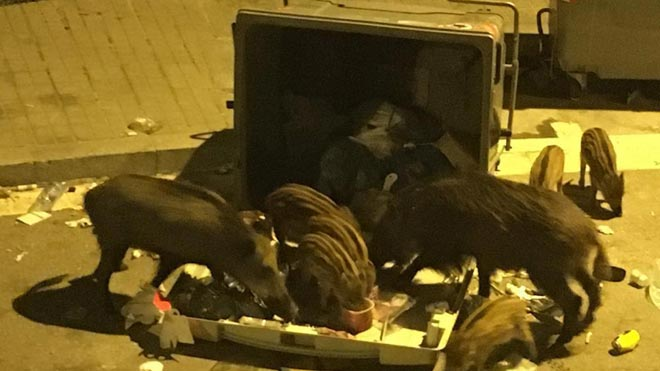 Jabalís comen de un contenedor en la calle de Maduixer de Barcelona