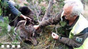 Agentes rurales cambian las baterías del collar de seguimiento del oso Goiat, en octubre del 2018.