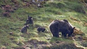 Una osa con tres crías en el parque natural del Alto Narcea, en Asturias.