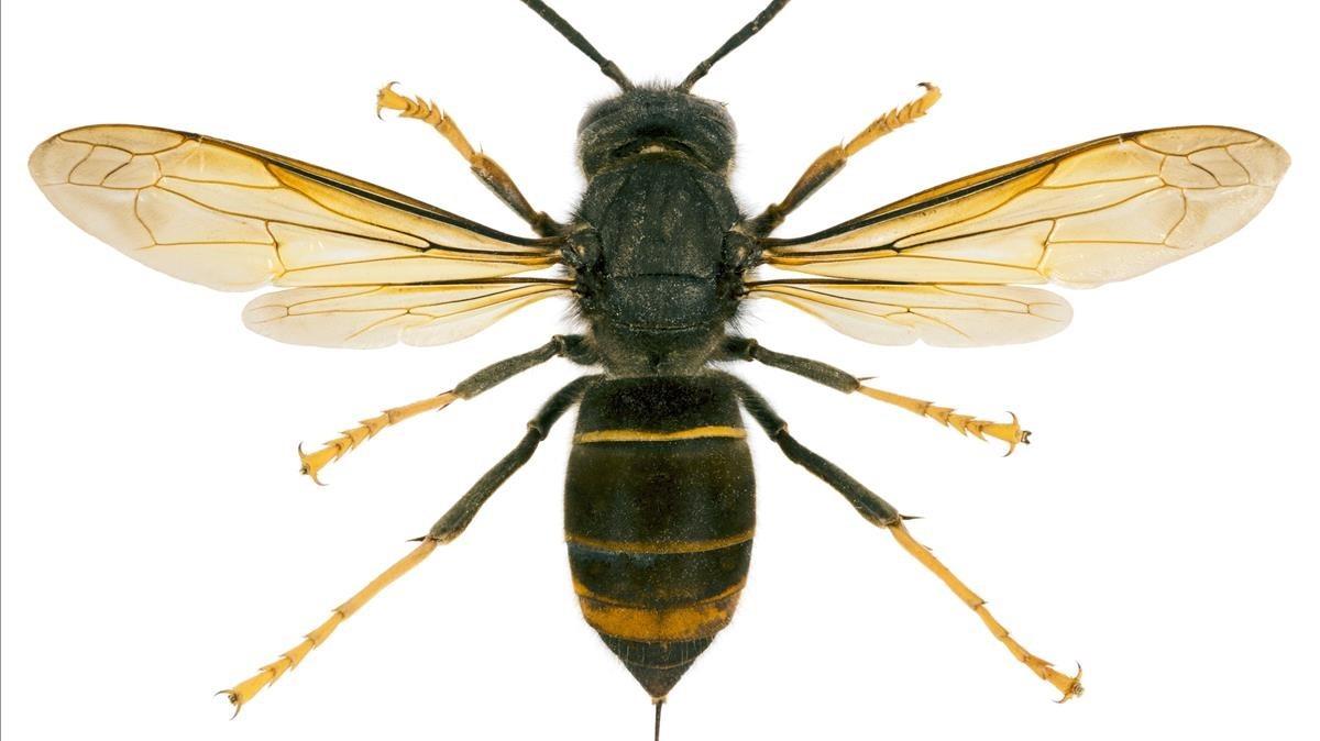 Una avispa asesina, también conocida como vespa velutina y avispa asiática.