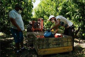 Unos migrantes recogen fruta, este jueves, en un campo de Fraga, una de las comarcas que ha pasado de fase 3 a fase 2 por un rebrote de coronavirus.