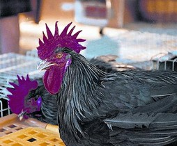 Dos magníficos ejemplares de gallos negros del Penedès.