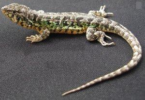Esta lagartija presenta escamas dorsales ligeramente quilladas en el cuerpo; en cuanto a la coloración, posee escamas verdes y turquesas.