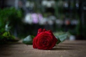 Una de las rosas de Sant Jordi que hoy llegarán a los hogares durante este confinamiento.