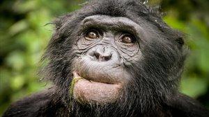 Primer plano de un bonobo, en una imagen de archivo proporcionada por el Institut de Biologia Evolutiva (IBE)