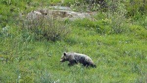 Imagen de un oso en la Vall DAran, Lleida.
