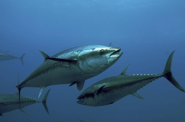 Les espècies del mar Mediterrani, en perill.