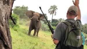 Un guia de safari atura l'atac d'un elefant només aixecant un braç