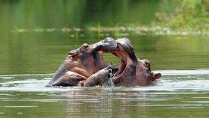 Els 80 hipopòtams d'Escobar