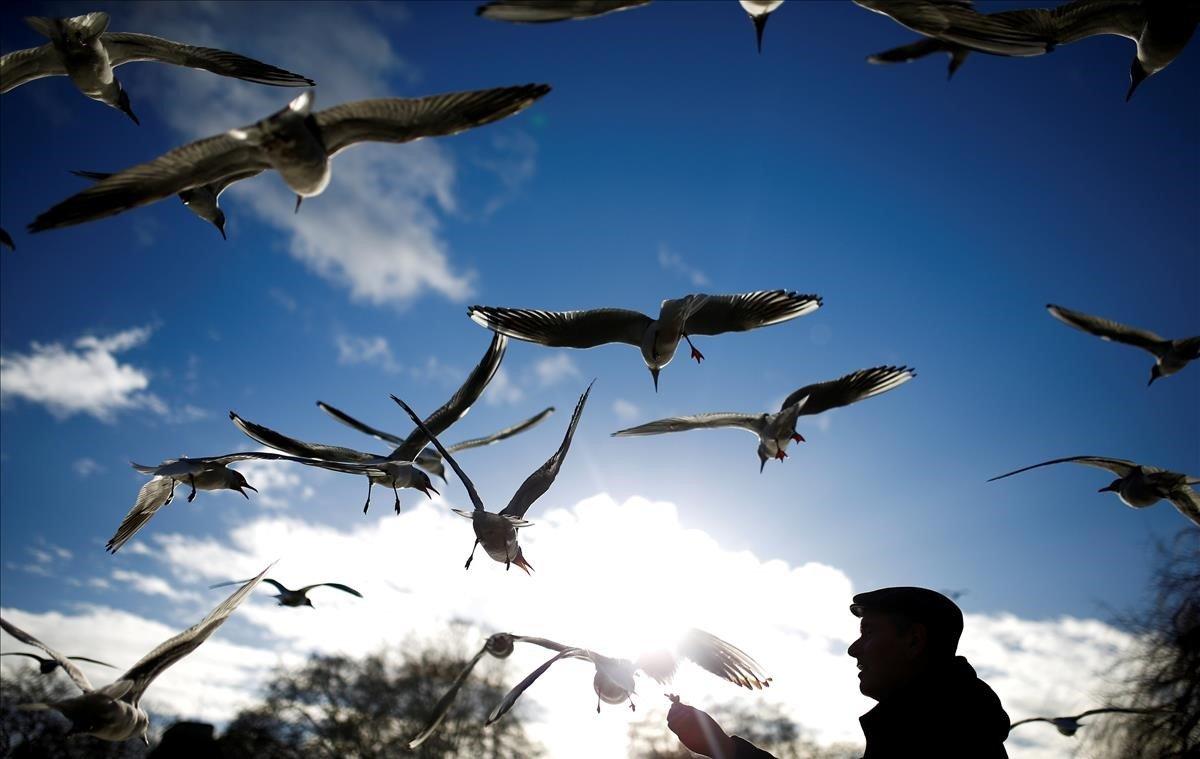 Un hombre alimenta a las aves en St James Park de Londres.