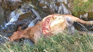 L'os Cachou mata una euga adulta a l'Aran en el cinquè atac en 15 dies