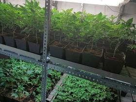 Decomisadas 750 plantas de marihuana en la Vila Olímpica de Barcelona