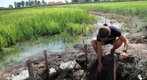 Un arrozal de Palau-sator, en el Baix Empordà.