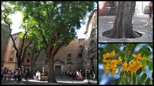 Les tipuanes de la plaça de Sant Felip Neri