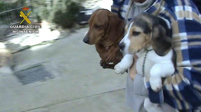 Incautación de más de 150 perros en un criadero ilegal en Madrid.